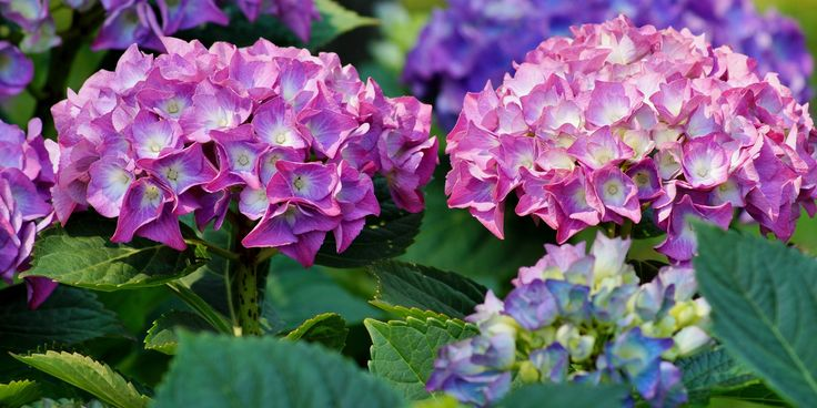 Hydrangeas are very popular both as cut flowers and plants for the garden because of their big, beautiful blooms. Learn about their history and meaning!