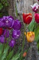 Series – Spring Tulips