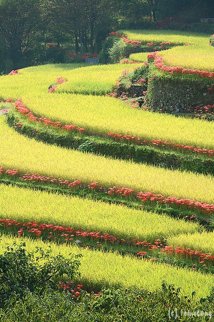 Bansho Rice Terrace with Red Spider Lily, Yamaga city, Kumamoto, Japan