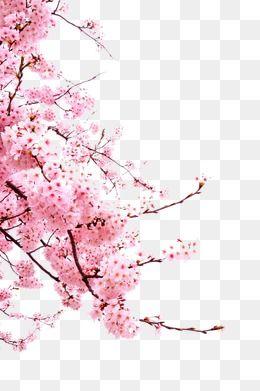 Cherry Blossoms Bunga Sakura Bunga Ilustrasi Poster
