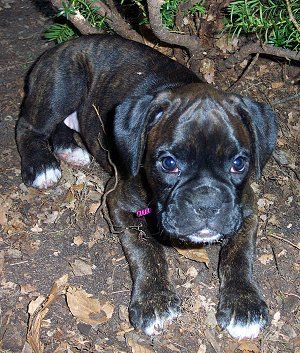 Gypsy Rose, a reverse brindle American Boxer Puppy