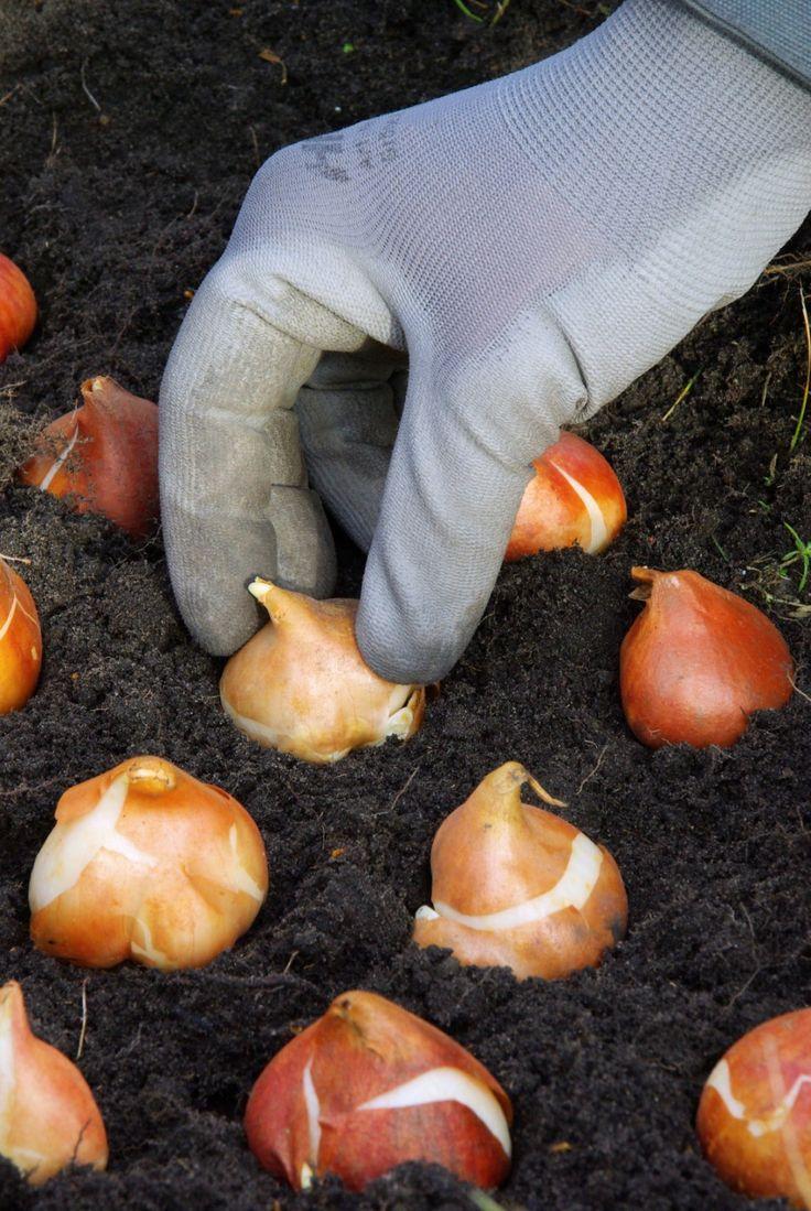 Куда «исчезают» луковицы тюльпанов? Каждому, кто выращивает на своем дачном участке тюльпаны, не раз приходилось замечать, что иногда посаженные луковицы просто исчезают. Не стоит списывать это только на процесс загнивания или распространение грызунов.