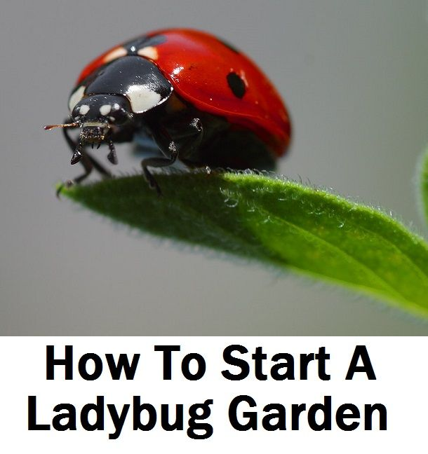 How To Start A Ladybug Garden