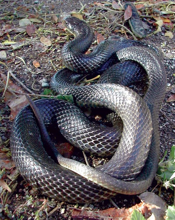 Papuan Black Snake .... tasty with a deadly bite. I was sad to hear it's now on the endangered species list