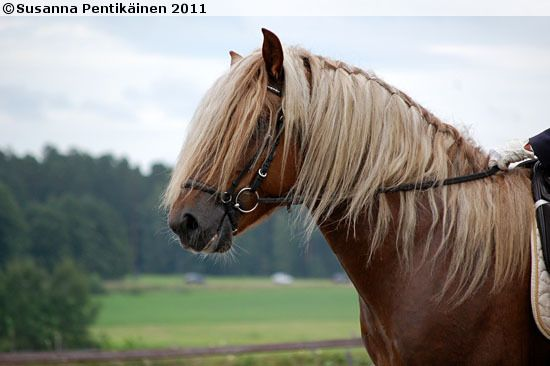 Is there a horse under that hair? Finnhorse stallion Pilsner.