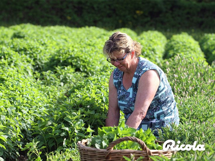 Living and working in harmony with nature is a long-standing tradition for the cultivation of Ricola herbs. #Herbs #Tradition #Ricola