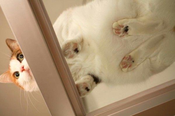 Galería: 14 Gatos gordos vistos a través de una mesa de vidrio