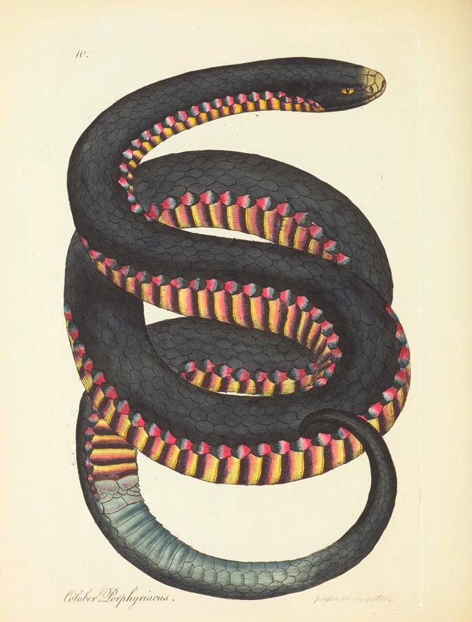 design-is-fine:James Sowerby, illustration of a snake for Zoology of New Holland by George Shaw, London,1794. Museum Viktoria, via Biodiversity Library. Design is fine. History is mine.