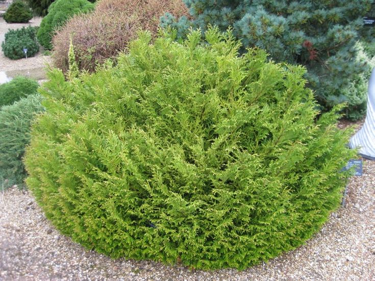 thujopsis dolabrata 39 nana 39 plantilus conif re nain arbustes persistants pinterest. Black Bedroom Furniture Sets. Home Design Ideas