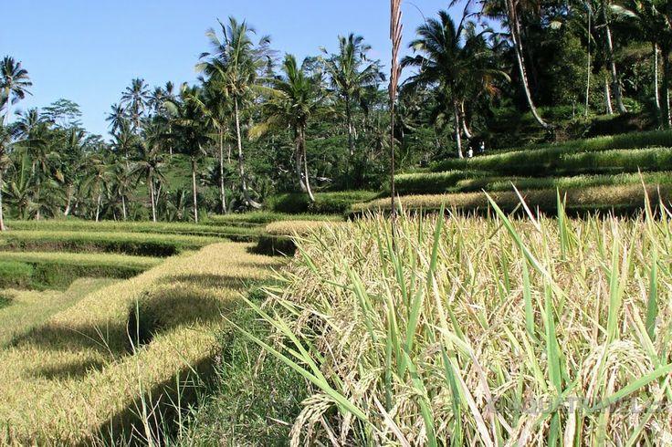 Ubud, políčka v údolí Gunung Kawi