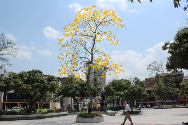 Guayacan amarillo floreciendo en nuestro renovado parque principal!!