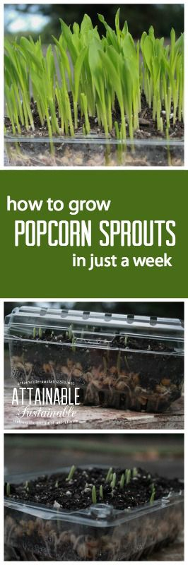 Growing organic popcorn microgreens is easy and you'll have ready to eat sprouts in just days. They're a great way to add fresh greens to your diet when your garden is bare. Garden ~ prepping ~ homestead ~ grow your own ~ seeds ~ vegetables