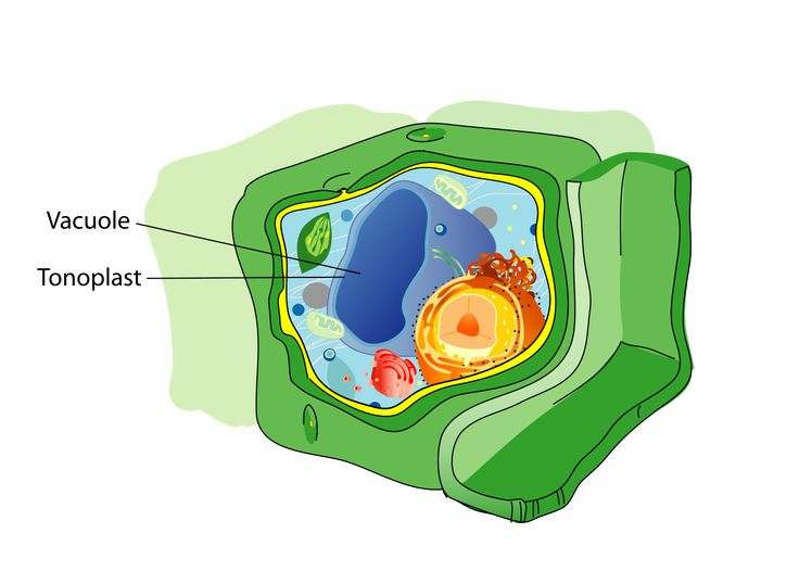 Vacuole - Stores water and nutrients usually for plant cells