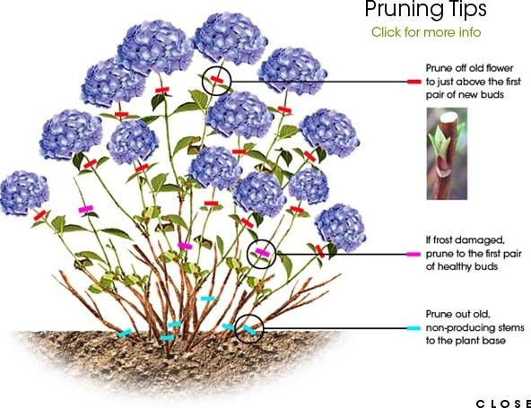 Plants and Flowers, Pruning Tips For You And The Best Time To Prune Hydrangea With The Simple And Easy Ways With Prune Just Above The First Pair Of New Buds And Of Healthy Buds And The Non Producing Stems ~ Deciding The Best Time To Prune Hydrangea In Your Yard