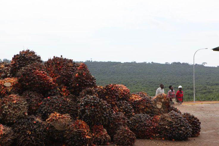 Palm oil produce