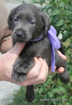Silver Labrador Puppies For Sale | Charcoal Labradors... Charlie needs a sister!!