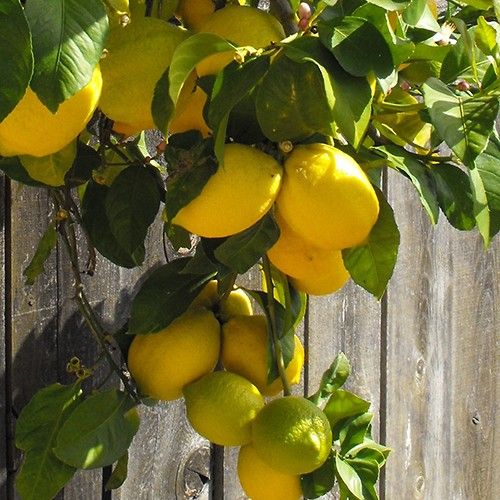 1000 images about citrus in containers on pinterest for Buy a lemon tree plant