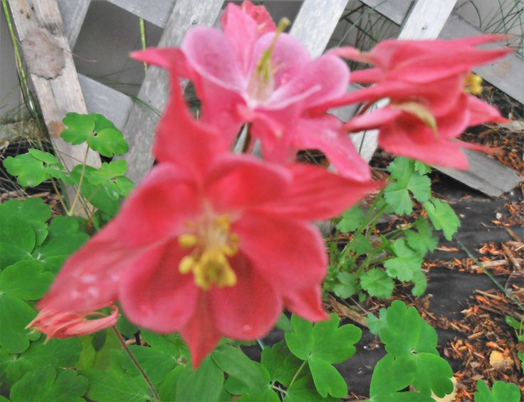 Columbine - med. pink flowers