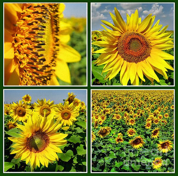 Sunflower field (collage) in Romania  Photographs by Daliana Pacuraru