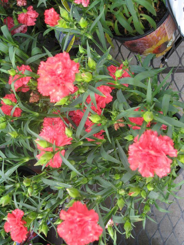 Dianthus caryophyllus 'Garden Spice'   / Dianthus caryophyllus 'Garden Spice'