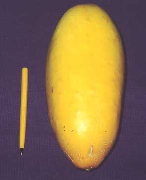 """Cucumber """"Giant Russian"""" Organic Vegetable Seeds Online for Hot Humid Areas"""