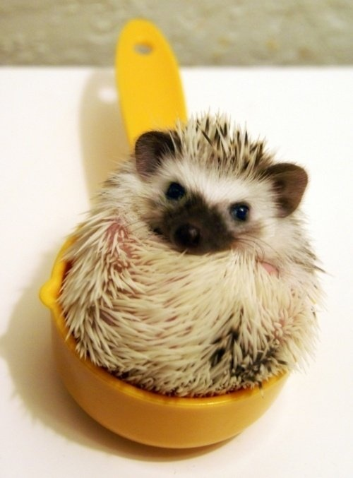 ...and 1 cup of hedgehog.