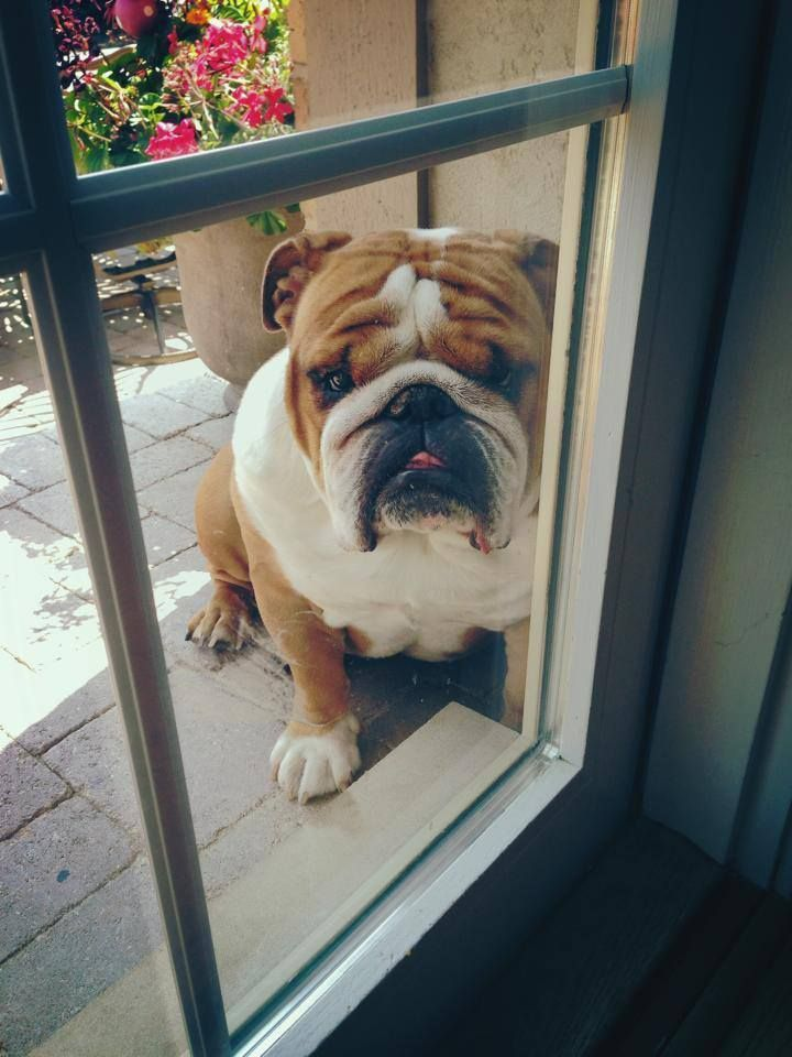 English Bulldog Dog 16 Reasons English Bulldogs Are The Worst