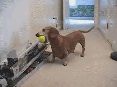 9.) These dogs are highly intelligent. This one doesn't need you to play fetch. http://www.viralnova.com/dachshunds/?mb=pd #compartirvideos #videosdivertidos