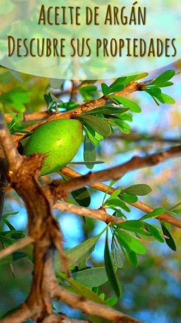 El aceite de Argán se ha popularizado en occidente desde hace unas décadas gracias a sus numerosas propiedades. El Argán procede del árbol Argania Spinosa que puede llegar a vivir hasta 200 años, perteneciente a la familia de las Sapotáceas y es autóctono de Marruecos, donde crece de forma salvaje, al pie del Atlas. El fruto de este árbol es de muy lento crecimiento tardando entre 5 y 6 años en aparecer.