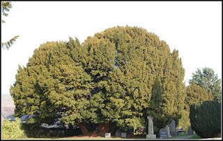 Questo bellissimo tasso si chiama Llangernyw e risiede in un piccolo sagrato della chiesa di San Dygain, nel villaggio di Llangernyw nel Galles del nord.  L'albero è stato piantato probabilmente durante l'età del bronzo della Gran Bretagna (dal 2100 al 750 a.C.) e si stima che abbia un'età compresa tra i 4000  e i 5000 anni.   La circonferenza dell'albero, al livello del suolo, è di 10,75 m. ( W. ).