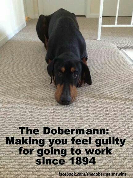 180 Best Doberman Pinscher Images On Pinterest Doberman