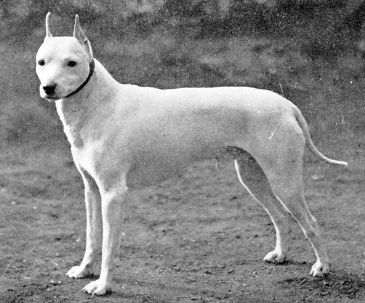 Extinct English White Terrier -1896