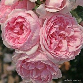 kordes rosen cinderella die sch nsten rosen der welt. Black Bedroom Furniture Sets. Home Design Ideas