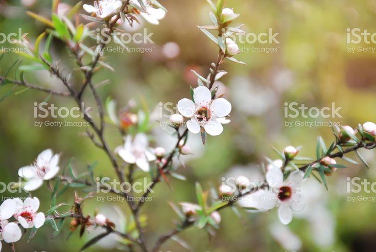 New Zealand Native Leptospermum Scoparium (Manuka) Flower royalty-free stock photo
