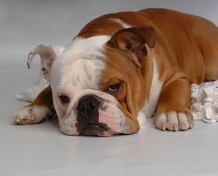 Bulldog'lar özellikle İngiliz Bulldog apartman ortamında, ev içinde kolaylıkla yaşayabilen bir ırktır. Ayrıca bahçeli bir evde bakılması hareket olanağını artıracağı için daha uygundur. Dost bir köpek olan Bulldoglar iyi bir şekilde eğitilmişse çocuklarınızla oynamasında bir sakınca yoktur. Bulldoglar soğuk ortamlarda rahatlıkla yaşayabilir.