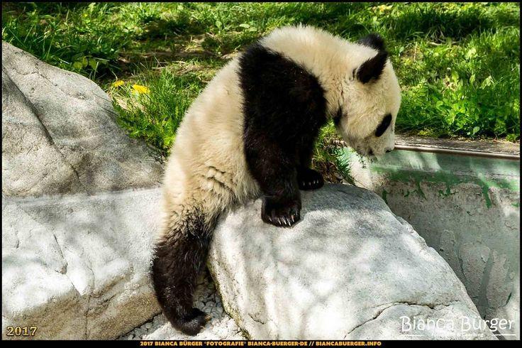 Tiergarten Schönbrunn - Panda-Jungtier - Wien-Spezial #Wien #Vienna #wonderlustvienna #vienna_austria #ViennaNow #Österreich #Austria #ig_austria #feelaustria #visitaustria #zoovienna #zoo #Tiergarten #schönbrunn #biancabuergerphotography #shootcamp #pickmotion #Reise #travel #animal #Tier #Panda #giantpanda #canon #EOS5DMarkIII #5Diii