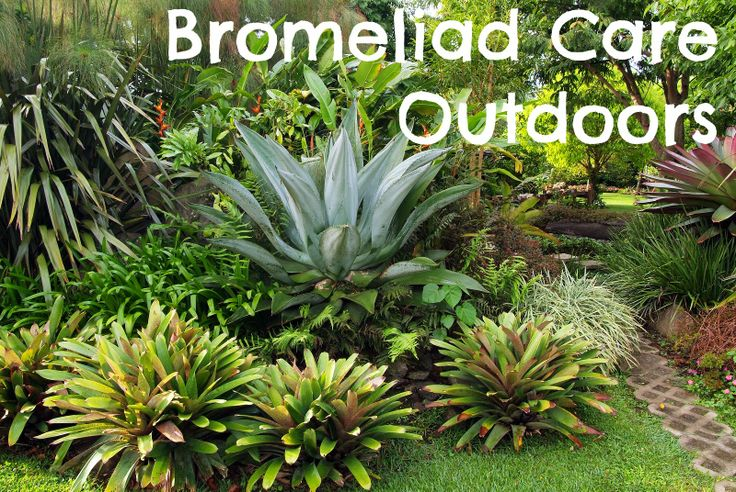 planting bromeliads bromeliad care outdoors all types of bromeliads pinterest outdoors. Black Bedroom Furniture Sets. Home Design Ideas