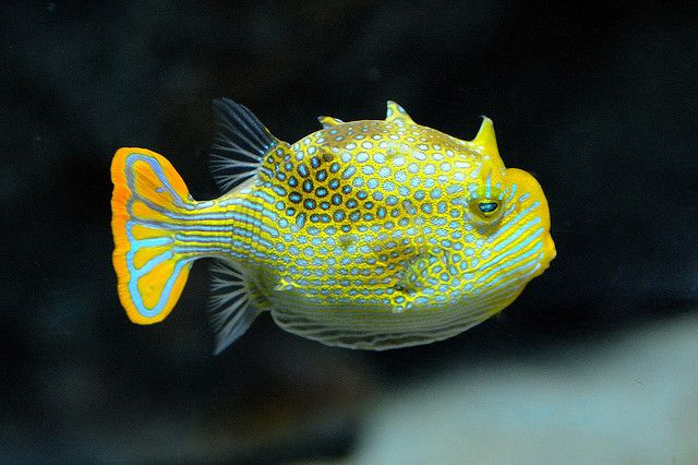 32 best tropical fish images on pinterest tropical fish for Pretty freshwater fish