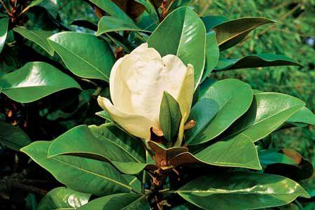 Propagating A Magnolia Magnolia Trees Magnolia Trees Magnolia