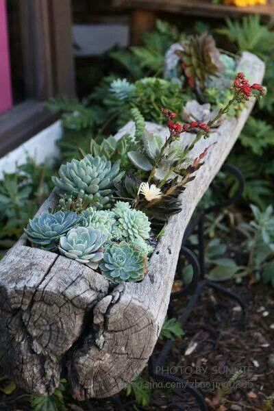 hollowed out log planter with succulents;
