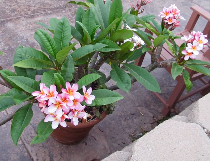 30 best images about plumeria on pinterest flower front for Best flowers to grow in california