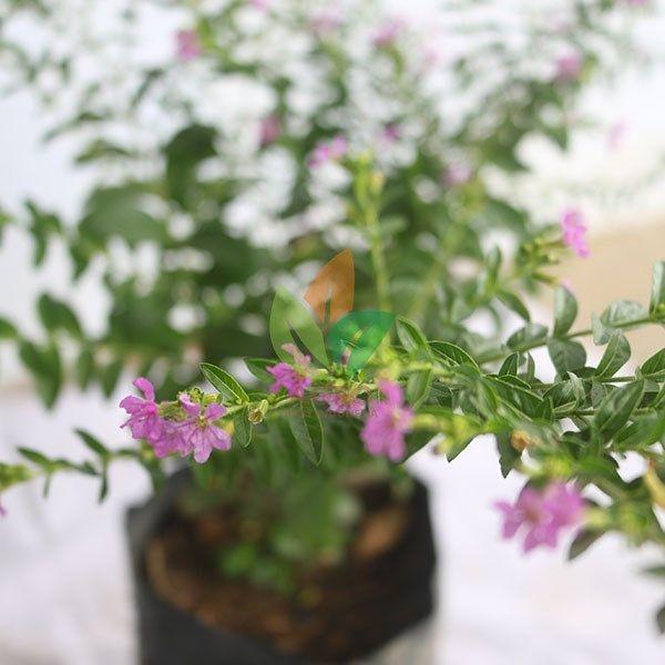 Tanaman Bunga Hias Thailand Beauty Siap Kirim D Silahkan Wa 6285730130718 Untuk Cek Harga Dan Cara Pembelian Bibit Tanaman Agrobib Tanaman Anggrek Bunga