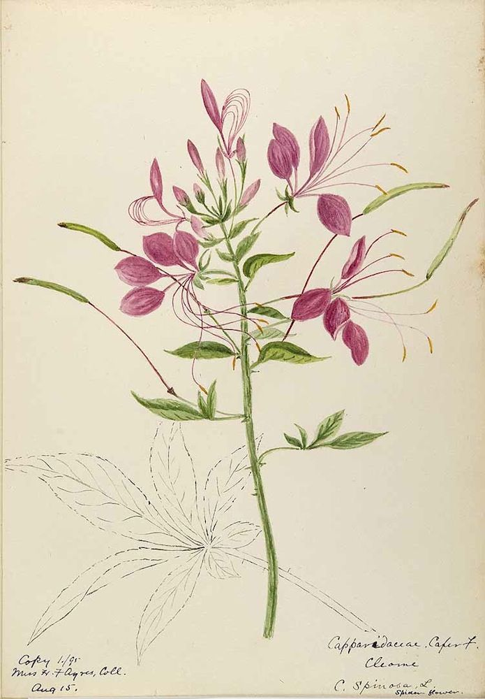 25 best spider flower cleome images on pinterest spider plants spider flower cleome houtteana syn c hassleriana syn c spinosa mightylinksfo