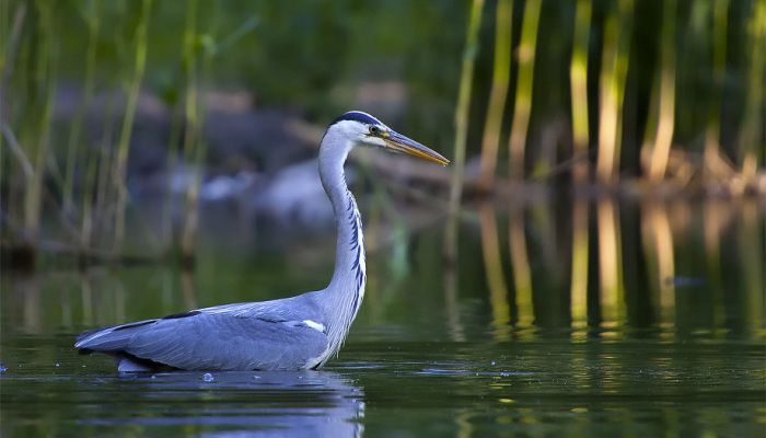 Great Blue Heron 4 by tobias hjorth