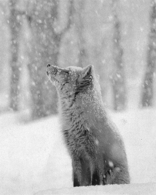 .: Pet, Beautiful, Snowflakes, Baby Animal, Wolves, Redfox, Red Foxes, Natural, Photo