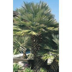 3.58-Gallon European Fan Palm (L9064) Nursery