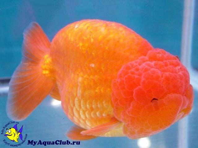 lionhead goldfish | Аквариумная рыбка Золотая рыбка ...