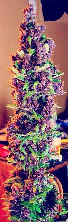 marijuana treeee ( cannabis ) http://www.growingmarijuanaebook.com