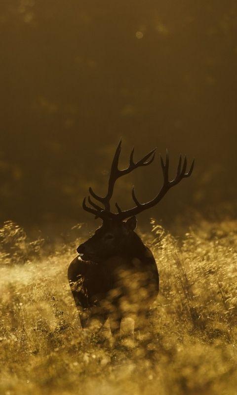 Download Wallpaper 480x800 Deer, Field, Grass, Walking, Dark HTC, Samsung Galaxy S2/2, Ace 480x800 HD Background