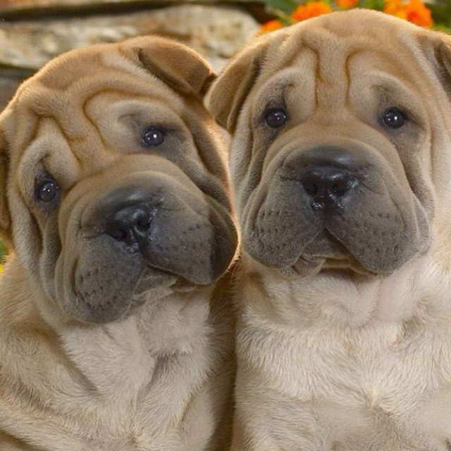 Would love another sharpei. Via 10,000 wallpapers.